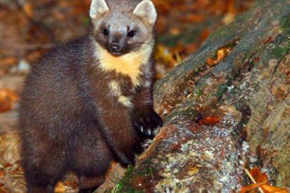Los cultivos de marihuana en California están matando a esta adorable criatura del bosque