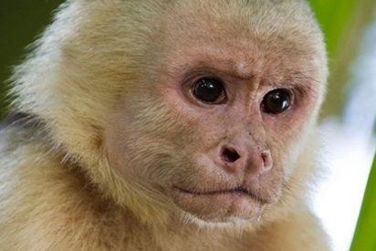 Los monos panameños dan signos de haber iniciado su propia Edad de Piedra