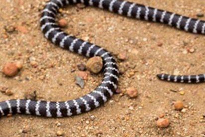 Descubren este nuevo tipo de serpiente letalmente venenosa