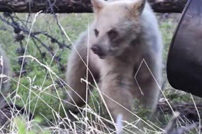 Dos cazadores escapan por los pelos del ataque de una osa en Canadá