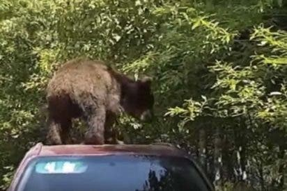 Este oso se sube al techo de un coche para intentar robar en su interior