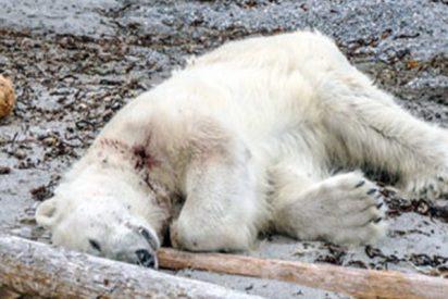 Matan a tiros a esteoso polar por atacar a un guardia en un crucero en Noruega