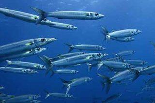 La pérdida de olfato en los peces está causada por la acidificación de los océanos
