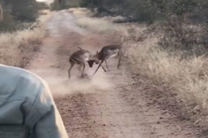 Este leopardo interrumpe una feroz pelea entre dos impalas
