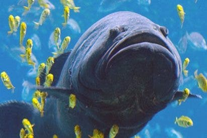 Este pez gigante se traga a un tiburón