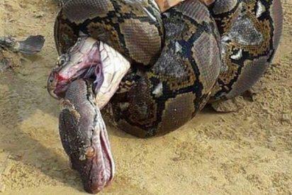 Así lucha por su vida una cobra contra una pitón