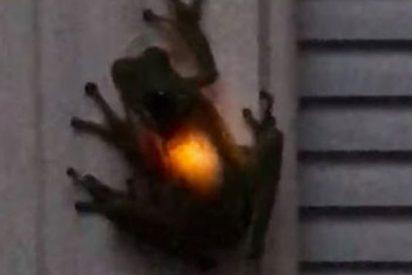 Esta rana brilla 'desde dentro' después de tragarse una luciérnaga