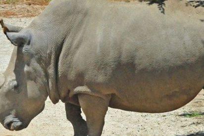 Ya han creado los primeros embriones in vitro para recuperar el rinoceronte blanco del Norte