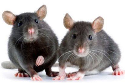 Recompensa y malestar están estrechamente vinculadas en el cerebro de ratones