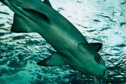 Este tiburón intenta atacar a turistas en una playa