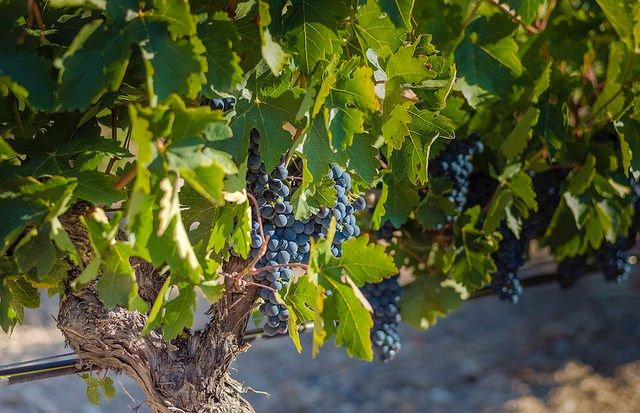 uvas negras resveratrol