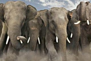 Los combates del elefante: contra el león, el cocodrilo, la hiena...
