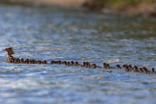 Madre sólo hay una: la mamá pato guiando a 76 patitos