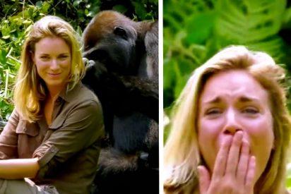 Después de 6 años criando a este gorila, le presenta a su esposa y ella se acerca demasiado
