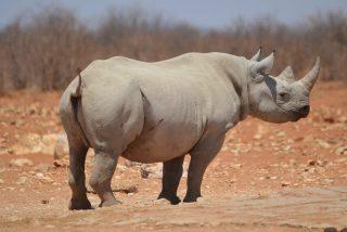 La prueba definitiva del gran poder del rinoceronte