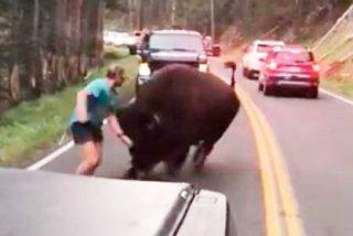 Un conductor idiota intenta ahuyentar a un enorme bisonte dándose golpes en el pecho (VÍDEO)