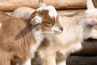 Esta ciudad en EE.UU. sufre una invasión de cabras