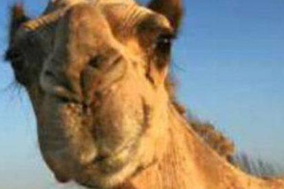 Choca contra un camello y el animal pasa dentro del coche 4 horas