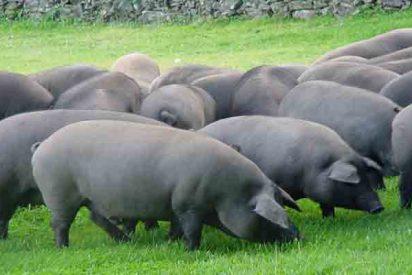 En España hay por primera vez en la Historia más cerdos qué personas