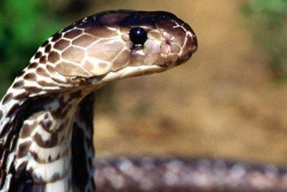 Esta cobra venenosa acepta agua de las manos de sus 'salvadores'