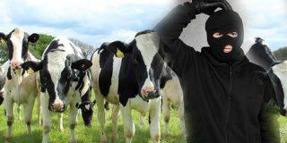 Un rebaño de vacas acorrala a una delincuente a la que perseguía la policía