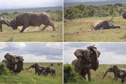 Certezas y patrañas de la pelea viral entre la madre elefante y el búfalo