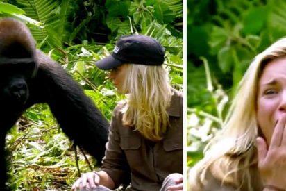 Después de 6 años criando a este gorila salvaje, le presenta a su esposa y ella se acerca demasiado