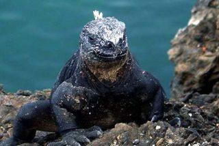 Galápagos: ¡Iguana a la fuga!