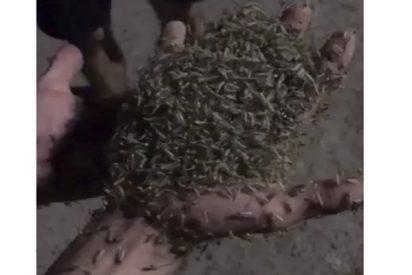 Esta ciudad rusa vive un 'apocalipsis' de insectos