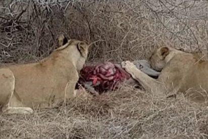 Estas leonas que devoran vivo a un jabalí son atacadas por una manada de hienas