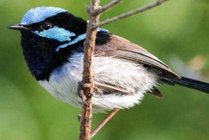 Un pájaro reconoce las llamadas de alarma de otras especies de aves