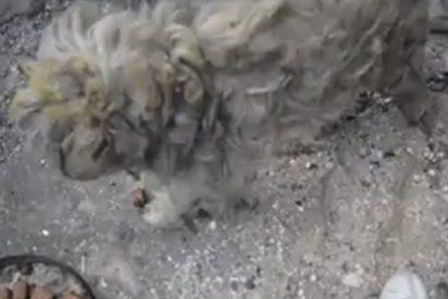 Este perro sobrevive a los incendios de Grecia tras pasar una semana en una casa destruida