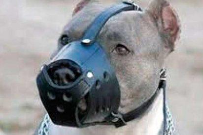 Un feroz pitbull destroza su bozal a mordiscos para defender a su dueña de 11 años
