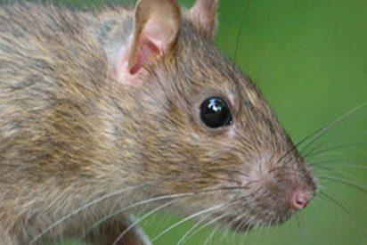 Descubren a una rata a la que le ha crecido una planta sobre la espalda