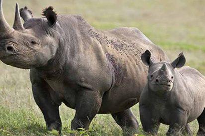 Histórico fracaso de protección animal: provocan la muerte a 11 rinocerontes negros trasladándolos a un 'santuario'
