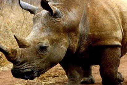 El vídeo que demuestra el gran poder de los rinocerontes