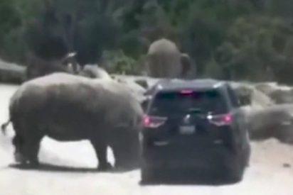 Rinoceronte embiste el coche de una familia en un safari