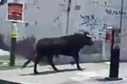 Este toro escapa en una fiesta patronal y causa destrozos en un mercado