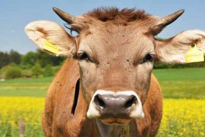 Suiza identifica por fin el problema de su industria ganadera: han creado vacas demasiado grandes
