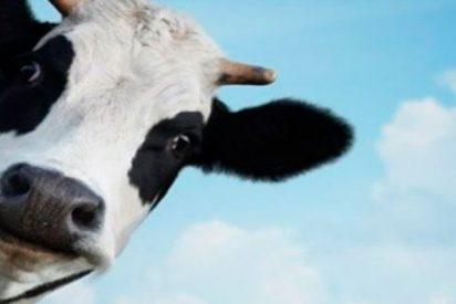 ¿Sabías que las vacas están dispuestas a esforzarse por un buen cepillado?