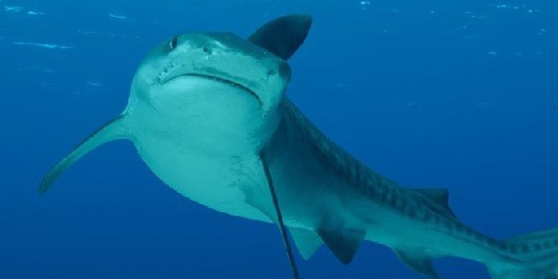 El cazador termina cazado: un tiburón es devorado por un pez aún más grande