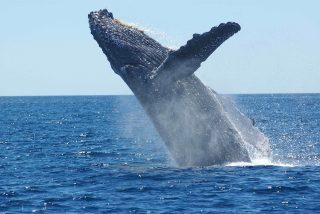La ballena jorobada emerge de improviso y golpea un bote inflable repleto de turistas aterrados