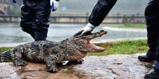 """El turista chino patea a un cocodrilo en peligro de extinción """"para que se mueva"""""""