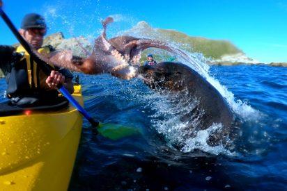 Esta foca le da la del pulpo al piragüista y en sentido literal