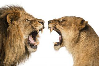 Magnicidio animal: las 9 leonas se rebelan contra el macho alfa y casi se lo comen