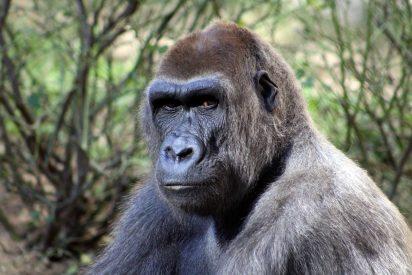 Gorilas y Hombres: una compleja y sugestiva relación de amor y odio