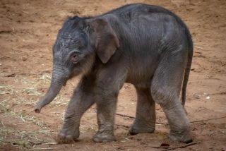 Los elefantes se reúnen en torno a su líder muerto para darle este emotivo último adiós