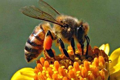 ¿Sabias que el veneno de abeja puede servir para tratar la dermatitis atópica?