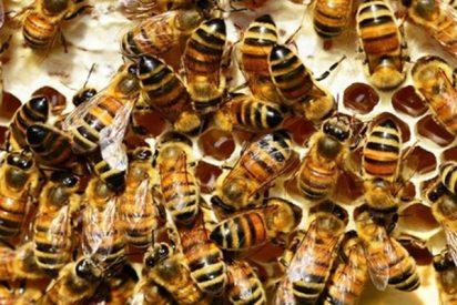 Estas abejas se apresuran a limpiar a una compañera que se cayó a un depósito de miel