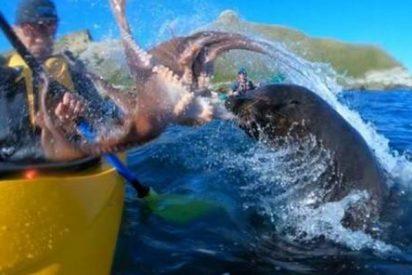 Esta foca le da la del pulpo a un piragüista y en sentido literal